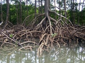foto mangrovie articolo allevamento