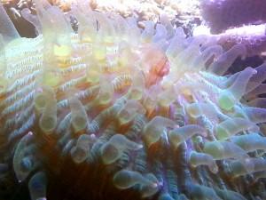 Fungia Costulata - dettaglio polipi (11/13)