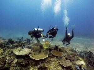 raccolta coralli dai sub,jpg