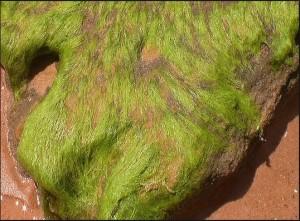 2 alghe su rocce