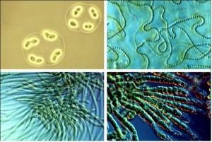 ciano al microscopio